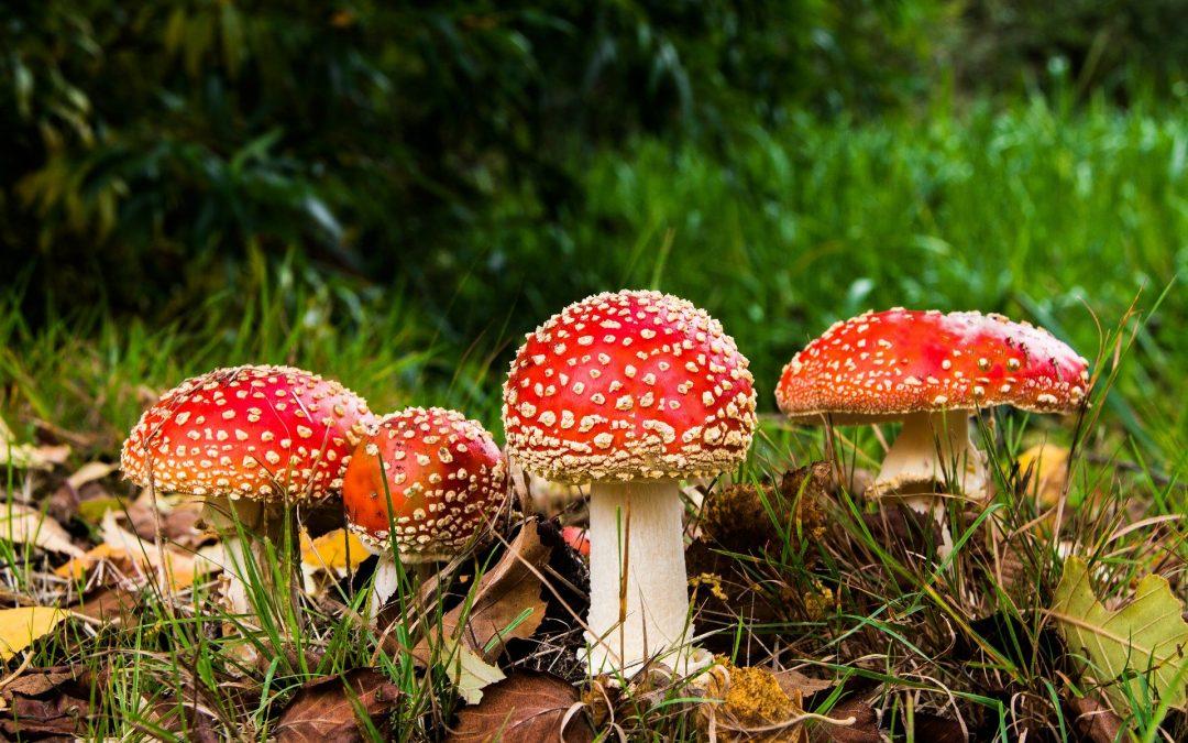 Uwaga na grzyby trujące